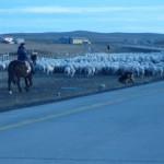 Sped owiec na strzyzenie, Argentyna